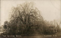 The Weeping Beech