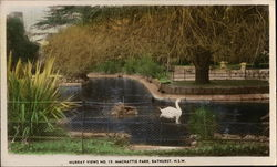 Swan in Machattie Park, New South Wales