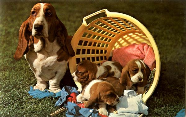 Basset Hound mother and pups Dogs