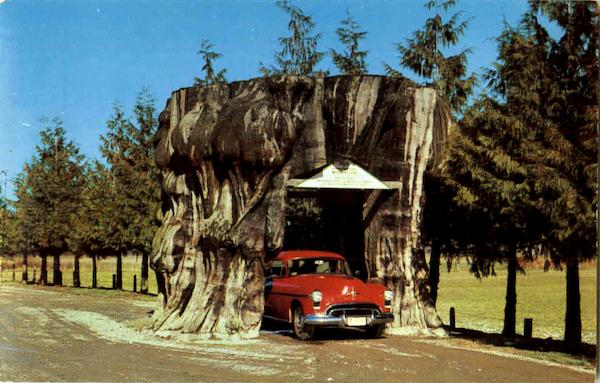 Giant Cedar Stump On Highway 99 Washington