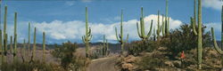 Road in Saguaro Forest, Arizona