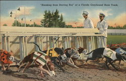 Breaking from a Starting Box at a Florida Greyhound Race Track