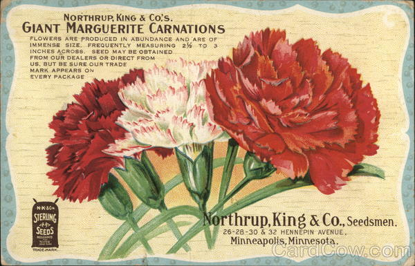 Giant Marguerite Carnations, Northrup, King & Co. Advertising