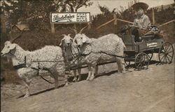 Sheep Pulling Studebaker Cart