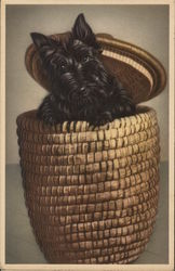 Scottish Terrier Popping out of a Basket
