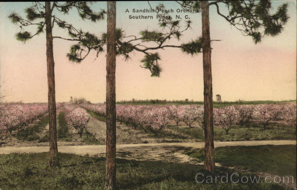 A Sandhill Peach Orchard Southern Pines North Carolina