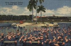 Flamingos Feeding at Hialeah Race Course
