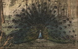 Peacock With its Feathers Spread