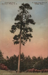 A Long Leaf Pine at Hedge Row