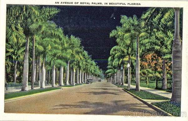 An Avenue Of Royal Palms, In Beautiful Florida Scenic