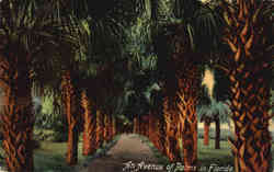 An Avenue of Palms in Florida Postcard