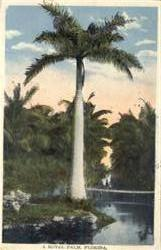 A Royal Palm