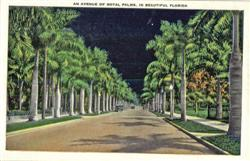An Avenue Of Royal Palms, In Beautiful Florida