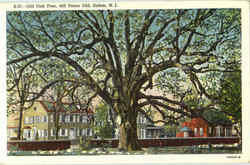 Old Oak Tree Postcard