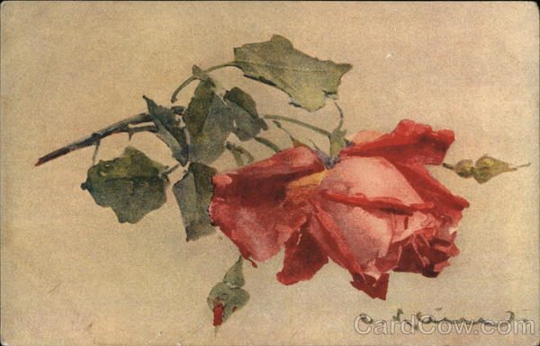 Pink and Red Rose C. Klein