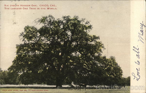 Sir Joseph Hooker Oak, The Largest Oak Tree in the World Chico California