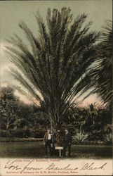Date Palm of Southern Florida