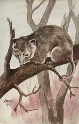 Virginia Opossum on Tree Branch