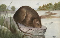 Muskrat Sitting by Lake