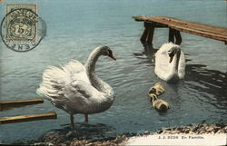 Swans with Goslings