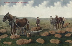 Farmer, Horses in Field with Gigantic Potatoes