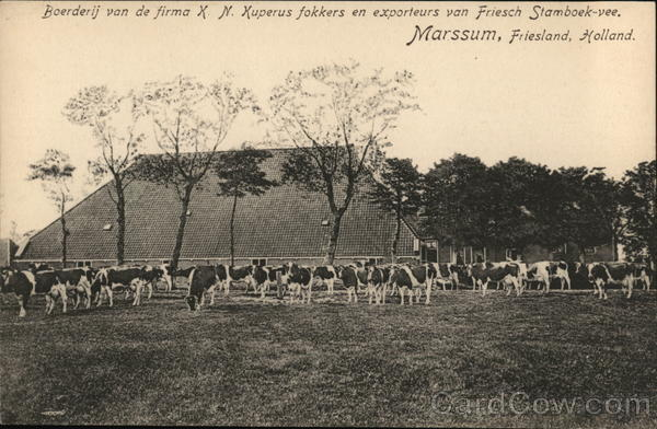 Dairy Cows, Farm Marssum Holland Benelux Countries