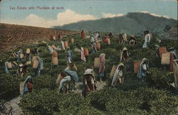 Tea Estate with Pluckers at work