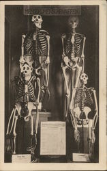 Four Skeletons With Printed Information on Display