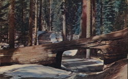 Tunnel Tree on Road to Crescent Meadow