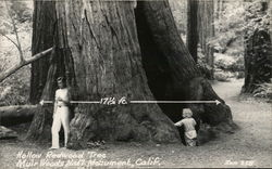 Hollow Redwood Tree, Muir Woods