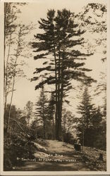The Triple Pine, A Sentinel at Camp-of-the-Woods