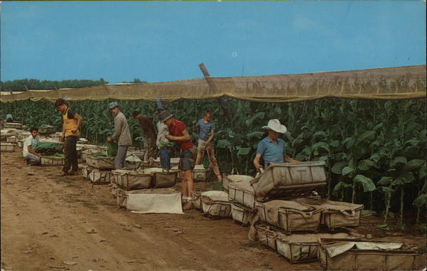 Picking Tobacco in the Connecticut Valley