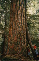 Giant Douglas Fir Tree