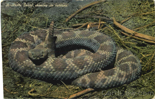 A Rattle Snake Showing Its Rattlers