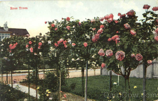 Rose Trees Flowers