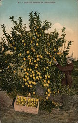 Picking Lemons in California