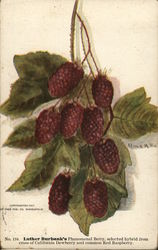 Luther Burbank's Phemonenal Berry