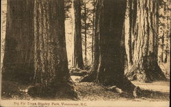 Big Fir Trees, Stanley Park