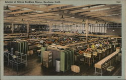 Interior of Citrus Packing House Postcard