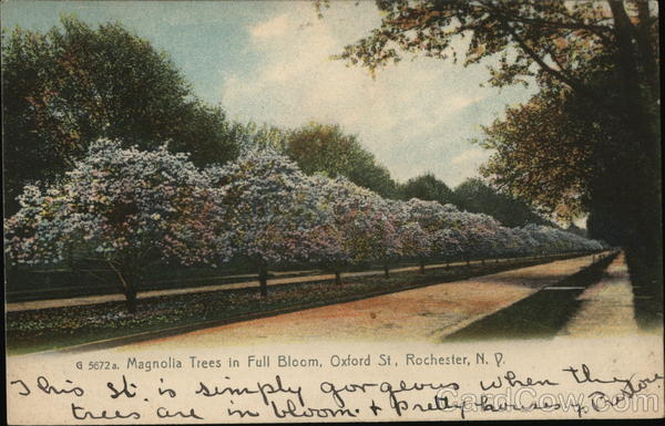 Magnolia Trees In Full Bloom Oxford Street Rochester Ny Postcard