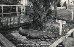 A Giant Alligator