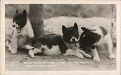Eskimo Pups at Ed Clark's Eskimo Sled Dog Ranch