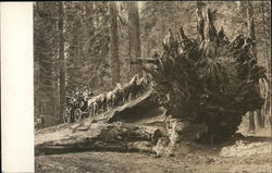 Stagecoach on Giant Redwood