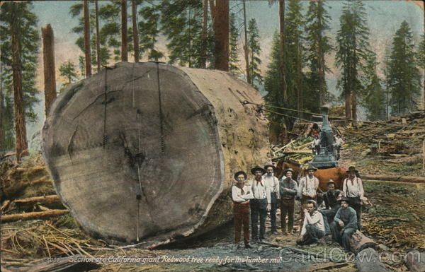 Section of California Giant Redwood Tree Logging