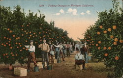 Picking Oranges in Northern California