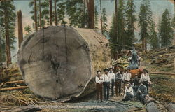 Section of California Giant Redwood Tree Postcard