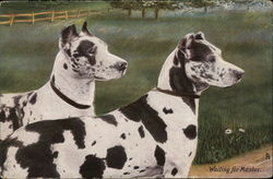 Waiting for Master. - Two dogs in a field.