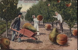 In California -Peach Orchard