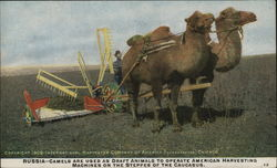 Camels Pulling Harvesting Machine