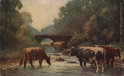 Cows in River